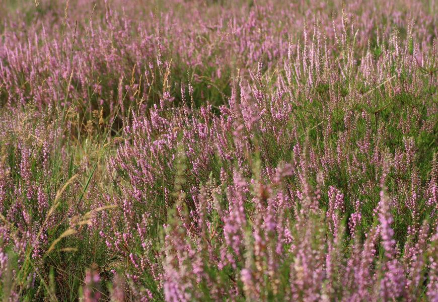 Wandelen in een paarsgekleurde Mechelse Heide